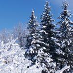 Kommunen fælder juletræer i borgernes haver
