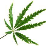 Cannabis til patienter med kroniske smerter eller kvalme