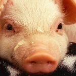 Netto dropper grisekød med antibiotika