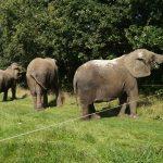 Elefantprojekt skal sikre Cirkus Arenas elefanter
