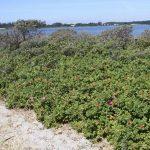 Invasiv plante skal fjernes på Glænø