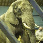 Cirkus Arenas elefanter tjekket af Gørlev Dyreklinik