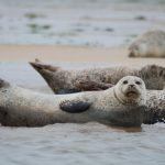 Sæler holder ofte pause i vandkanten