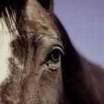To heste kan ikke finde hjem
