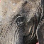Cirkuselefanterne får adgang til det fri