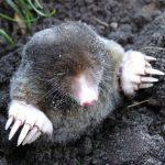 Drop muldvarpejagten og undgå flere jordbunker