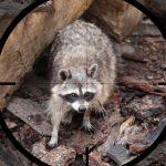Jægere må skyde mårhunde og vaskebjørne med natsigte