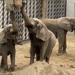 Nu kan du besøge elefanterne fra Slagelse på Lolland
